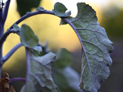 Tree Kale